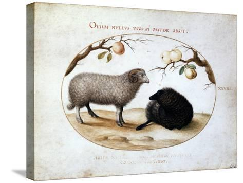 Ram, Black Sheep and Two Apple Branches, 16th Century-Joris Hoefnagel-Stretched Canvas Print