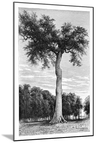 Ceiba Tree, Central America, C1890- Maynard-Mounted Giclee Print