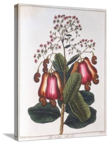 Cashew Nut - Anacardium Occidentale, C1798--Stretched Canvas Print