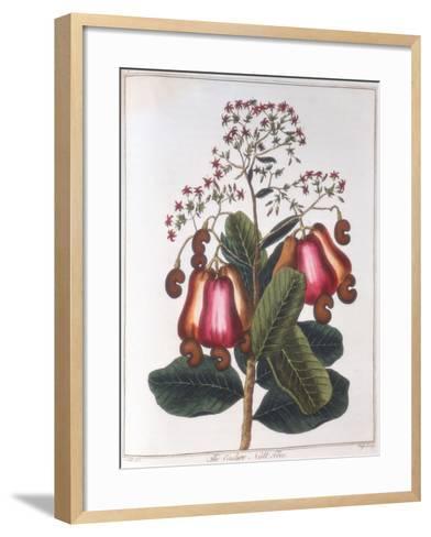 Cashew Nut - Anacardium Occidentale, C1798--Framed Art Print