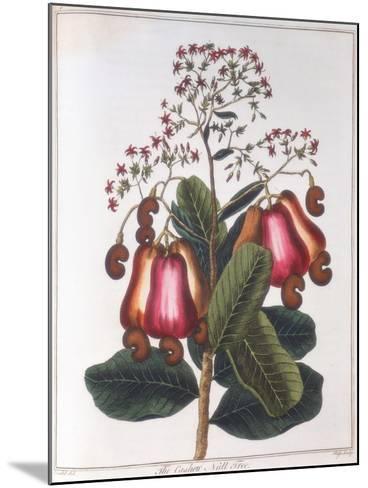 Cashew Nut - Anacardium Occidentale, C1798--Mounted Giclee Print