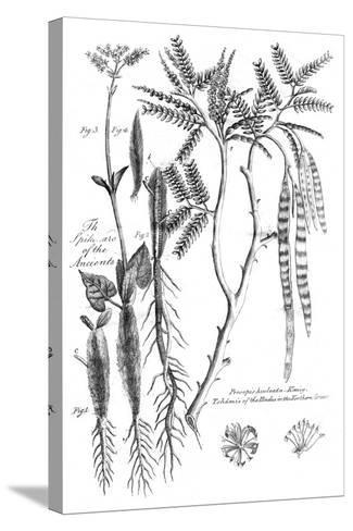 Prosopis Aculeata, 1799--Stretched Canvas Print