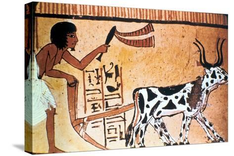 Sennutem Ploughing with Cattle, Ancient Egyptian Tomb Painting, New Kingdom (1550-1069 B)--Stretched Canvas Print