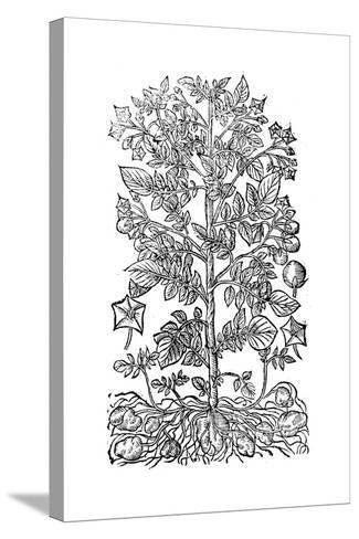Potato, 1640--Stretched Canvas Print