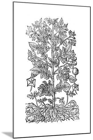 Potato, 1640--Mounted Giclee Print