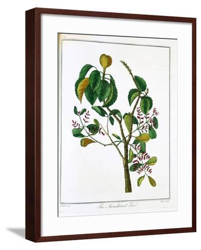 Manicheel Tree (Hippomane Mancinell) or Poison Guava, C1795--Framed Art Print
