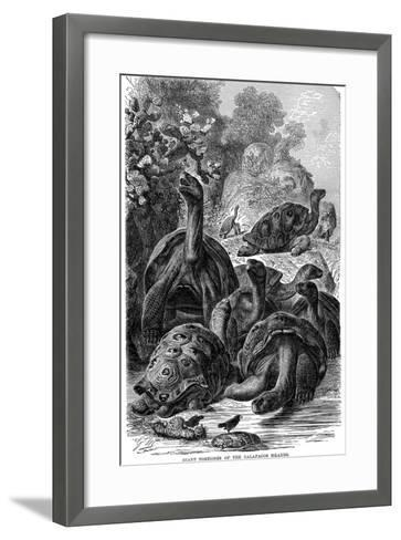 Giant Tortoises of the Galapagos Islands Which Were Observed by Darwin, 1894--Framed Art Print