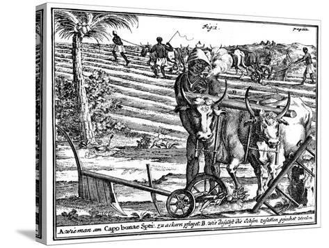 Yoking Oxen and Ploughing Fields, South Africa, 18th Century--Stretched Canvas Print