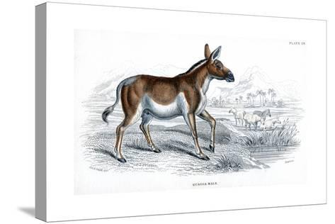 Engraving of a Quagga, C1830--Stretched Canvas Print