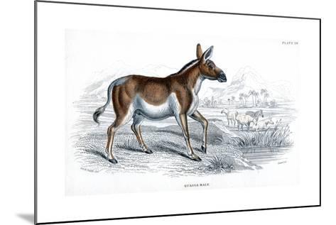 Engraving of a Quagga, C1830--Mounted Giclee Print