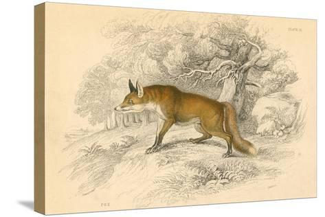 Common or Red Fox (Vulpes Vulpe), 1828--Stretched Canvas Print