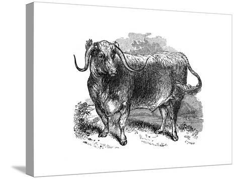 Lancashire Ox, Specimen of the Long Horned Breeds, 1848--Stretched Canvas Print