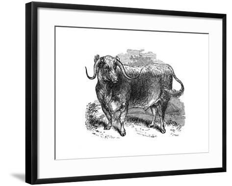 Lancashire Ox, Specimen of the Long Horned Breeds, 1848--Framed Art Print