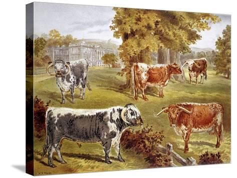 Longhorn Cattle Owned by Sir John Harpur-Crewe, Calke Abbey, 1885--Stretched Canvas Print