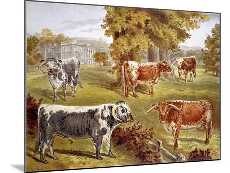 Longhorn Cattle Owned by Sir John Harpur-Crewe, Calke Abbey, 1885--Mounted Giclee Print