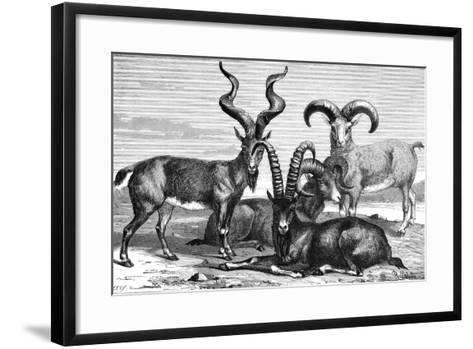 Mountain Sheep and Ibex, C1890- Levy-Framed Art Print