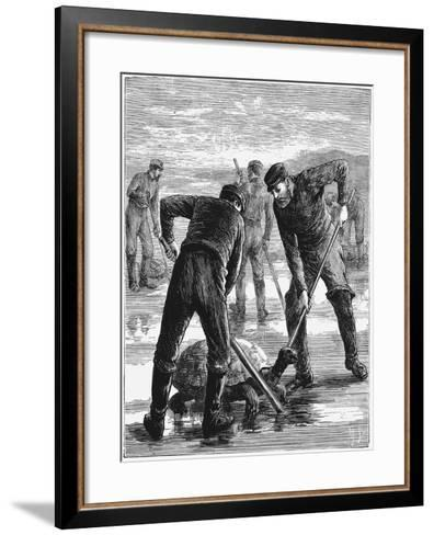 Green Turtle Being Caught by Hunters, C1900--Framed Art Print