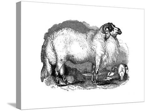 Fat-Tailed Sheep of Syria, 1848--Stretched Canvas Print