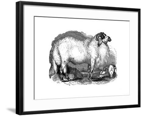 Fat-Tailed Sheep of Syria, 1848--Framed Art Print