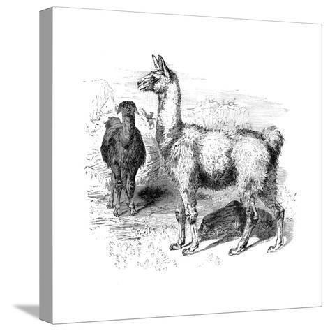 Llamas, C1880--Stretched Canvas Print