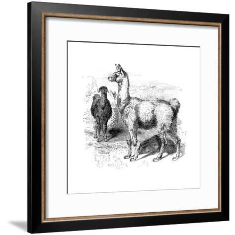 Llamas, C1880--Framed Art Print