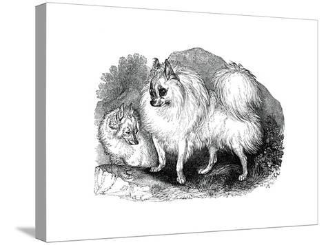 Iceland Dog, 1848--Stretched Canvas Print