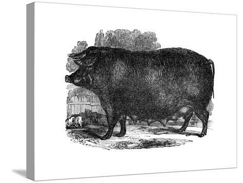 Hampshire Sow, 1848--Stretched Canvas Print