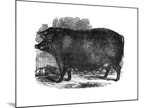 Hampshire Sow, 1848--Mounted Giclee Print