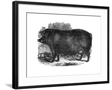 Hampshire Sow, 1848--Framed Art Print