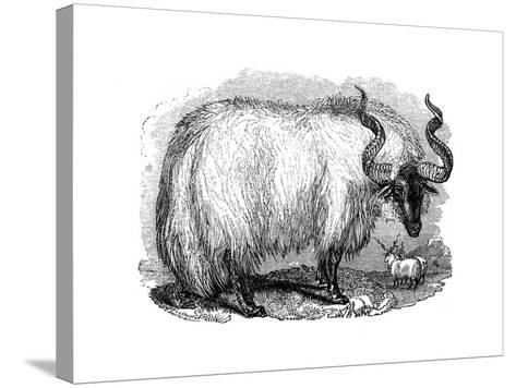 Spanish Sheep, 1848--Stretched Canvas Print