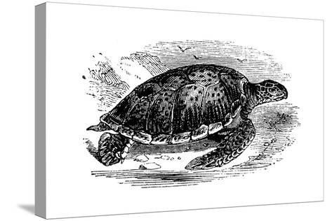 Green Turtle (Chelone Myda), C1890--Stretched Canvas Print