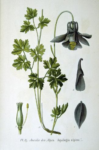 Alpine Columbine, 1893--Stretched Canvas Print