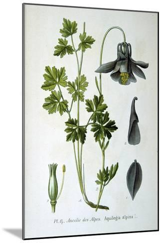 Alpine Columbine, 1893--Mounted Giclee Print