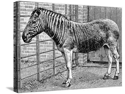 Quagga Mare in London Zoo, C1870-Frederick York-Stretched Canvas Print