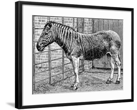 Quagga Mare in London Zoo, C1870-Frederick York-Framed Art Print