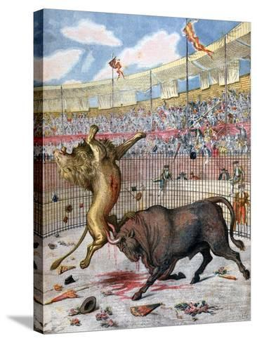 Combat Between a Lion and a Bull, Spain, 1894--Stretched Canvas Print