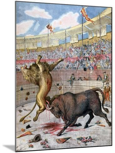 Combat Between a Lion and a Bull, Spain, 1894--Mounted Giclee Print