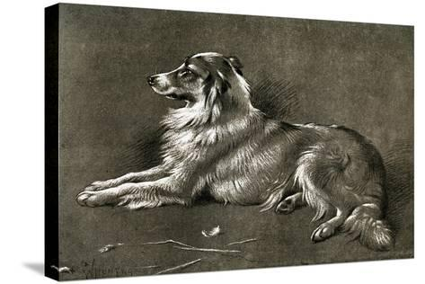 A Sheep Dog, 1901-Walter Hunt-Stretched Canvas Print