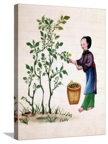Gathering Mulberry Leaves to Feed Silkworms, 19th Century--Stretched Canvas Print