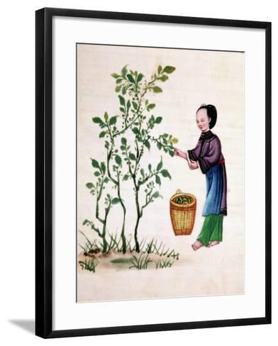 Gathering Mulberry Leaves to Feed Silkworms, 19th Century--Framed Art Print