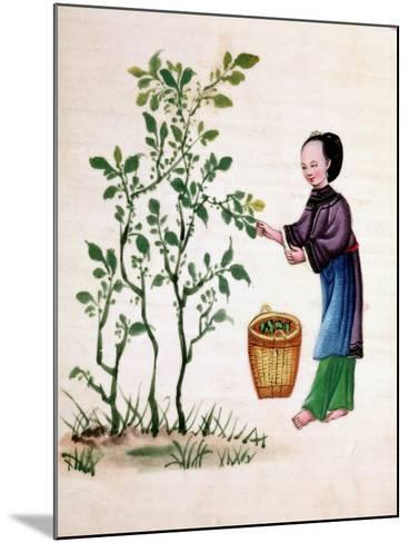 Gathering Mulberry Leaves to Feed Silkworms, 19th Century--Mounted Giclee Print