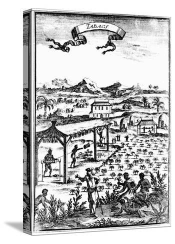 Cultivating and Curing Tobacco in West Indies Using Slave Labour, 1686--Stretched Canvas Print