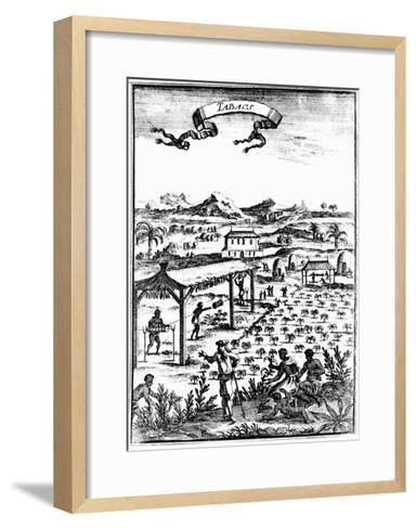 Cultivating and Curing Tobacco in West Indies Using Slave Labour, 1686--Framed Art Print