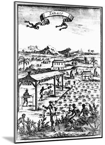 Cultivating and Curing Tobacco in West Indies Using Slave Labour, 1686--Mounted Giclee Print
