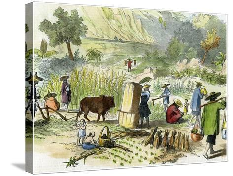 Chinese Harvest, Hong Kong, C1875--Stretched Canvas Print