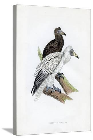 Egyptian Vulture, C19th Century--Stretched Canvas Print