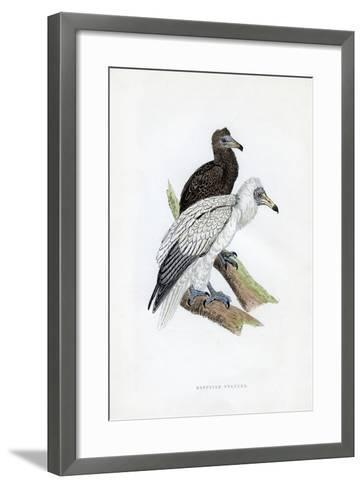 Egyptian Vulture, C19th Century--Framed Art Print