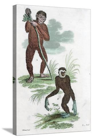 Orang Utang and Gibbon, 1822--Stretched Canvas Print