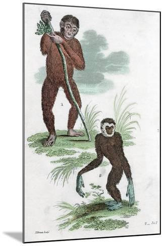 Orang Utang and Gibbon, 1822--Mounted Giclee Print