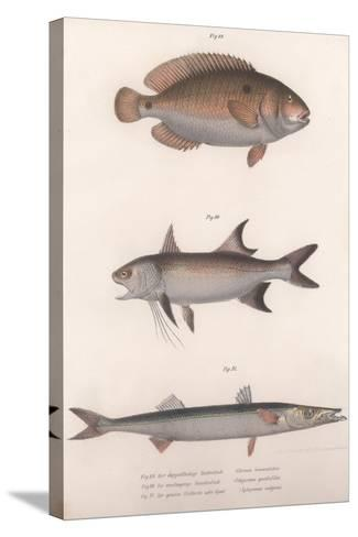 Two-Spot Bimaculus, African Redfin, Common Barracuda, C.1850S--Stretched Canvas Print